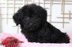 Sophie Female Yorke Poo Puppy