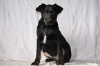 Sheprador Puppy For Sale in FREDERICKSBURG, Ohio,