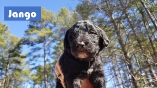 Sheepadoodle Puppy for sale in WALHALLA, SC, USA