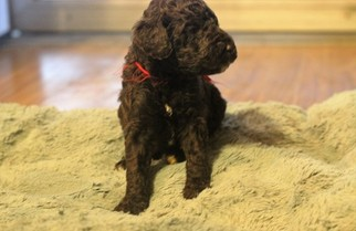 Poodle (Standard) Puppy For Sale in ENTERPRISE, AL