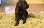 Poodle (Standard) Puppy For Sale in ENTERPRISE, AL