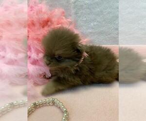 Pomeranian Puppy for sale in TALALA, OK, USA