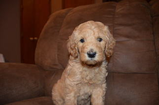 Labradoodle Puppy For Sale in YUKON, OK
