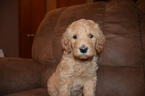 Labradoodle puppies F2BB DOB 1123