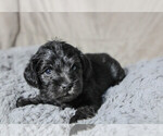 Puppy 3 Schnoodle (Miniature)