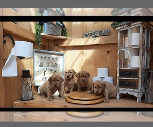 Labrador Retriever Puppy for sale in MILLVILLE, MN, USA