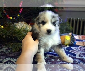 Pomsky Puppy for Sale in SPRING CITY, Pennsylvania USA