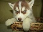 Siberian Husky Puppy For Sale in HUDSON, Michigan,