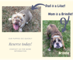 Small Photo #4 English Bulldog Puppy For Sale in NEOSHO, MO, USA