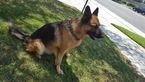 German Shepherd Dog Puppy For Sale in ONTARIO, CA, USA