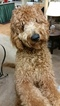 Goldendoodle Puppy For Sale in SUSSEX, WI, USA