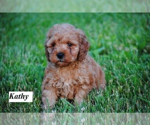 Cock-A-Poo Puppy for sale in HOPKINSVILLE, KY, USA