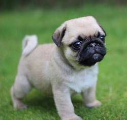 View Ad Pug Puppy For Sale Near Texas Dallas Usa Adn 22398