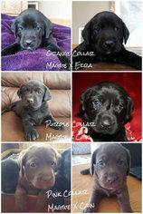 Labrador Retriever Puppy For Sale in PRAIRIE DU SAC, WI