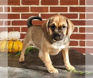 Puggle Puppy for sale in RICHLAND, PA, USA