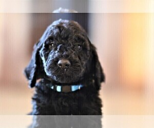 Poodle (Standard) Puppy for Sale in STANLEY, Virginia USA