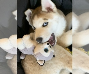 Siberian Husky Puppy for sale in LACEY, WA, USA