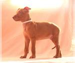 Puppy 5 Pharaoh Hound