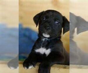Boxador Puppy for sale in KOKOMO, IN, USA