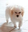 Poodle (Toy) Puppy For Sale in LORIS, SC,