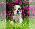Puppy 3 Beabull-English Bulldog Mix