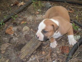 American Bulldog Puppy For Sale in OPELIKA, AL, USA