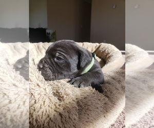 Cane Corso Puppy for Sale in TRINIDAD, Colorado USA