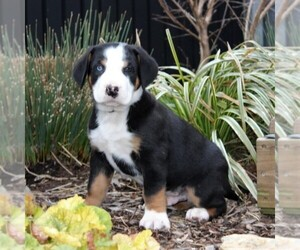Greater Swiss Mountain Dog Puppy for sale in RONKS, PA, USA