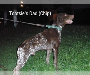Father of the German Shorthaired Pointer puppies born on 10/02/2017