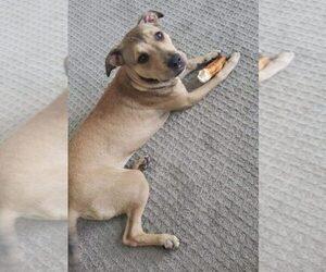 American Staffordshire Terrier-Siberian Husky Mix Dog for Adoption in HOUSTON, Texas USA