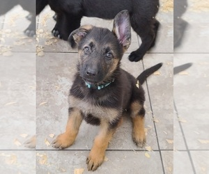 German Shepherd Dog Puppy for Sale in WARREN, Massachusetts USA