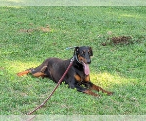 Doberman Pinscher Dog for Adoption in PEACH BOTTOM, Pennsylvania USA