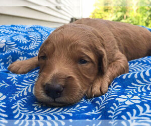 Goldendoodle Puppy for sale in MODOC, IN, USA