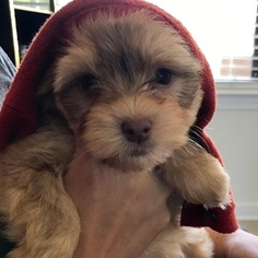 Havanese Puppy For Sale in PENSACOLA, FL