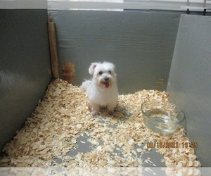 Maltese Dog for Adoption in CARROLLTON, Georgia USA