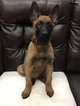 Belgian Malinois Puppy For Sale in REDBUSH, KY, USA