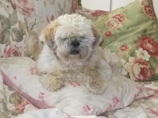 Shih Apso Dog For Adoption in West Cornwall, CT