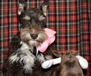 Schnauzer (Miniature) Puppy for sale in CASSVILLE, MO, USA