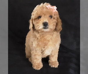 Poodle (Miniature) Dog for Adoption in MANCHESTER, New Hampshire USA