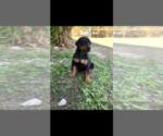 Puppy 5 Doberman Pinscher