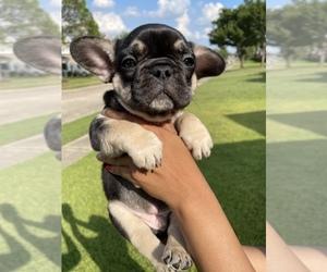 Bulldog Puppy for sale in BALCH SPRINGS, TX, USA
