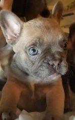 French Bulldog Puppy For Sale in COLTON, CA, USA