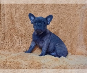 French Bulldog Dog for Adoption in HOLLYWOOD, Florida USA