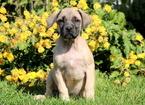 Mastiff Puppy For Sale in MOUNT JOY, PA, USA
