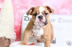 Bulldog Puppy For Sale in BEL AIR, Maryland,