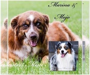 Mother of the Australian Shepherd puppies born on 07/23/2019