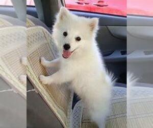 American Eskimo Dog Dog for Adoption in FORT WAYNE, Indiana USA