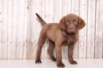 Chesapeake Bay Retriever Puppy For Sale in MOUNT VERNON, OH, USA