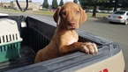 Stunning Female Ridgeback Beauty Pick of Litter