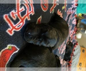 Labrador Retriever Puppy for sale in CARTHAGE, MO, USA